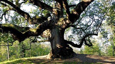 In Aspromonte una delle cinque querce più vecchie del pianeta: ha 560 anni