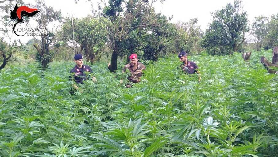 A Bianco 15 in manette e 10mila piante di marjuana sequestrate