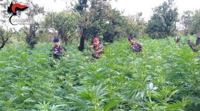 Ritrovata a Canolo piantagione di marijuana. Tre uomini in manette