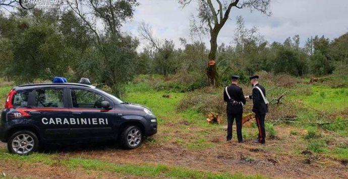 Furto di legna nel Parco d'Aspromonte, ai domiciliari due cittanovesi