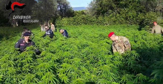 Coltivava marijuana a San Giovanni di Gerace, arrestato dai carabinieri