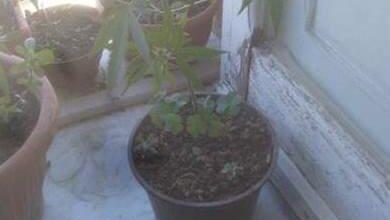 Gioiosa ionica, coltivava marijuana in terrazza: 55enne in manette