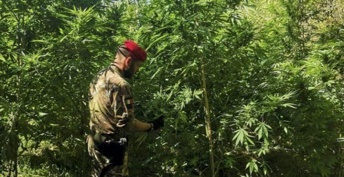 Roccella Jonica, sequestrate tre piantagioni illegali di canapa