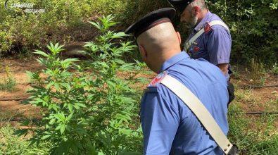 Anoia, sequestrate 211 piantine di canapa. In arresto zio e nipote