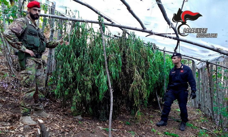 Reggio Calabria, i carabinieri sequestrano due piantagioni di canapa indiana