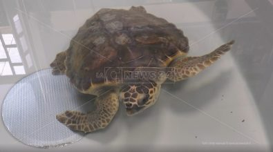 A Brancaleone l'ospedale delle tartarughe marine che dal 2006 ha salvato oltre 700 Caretta Caretta