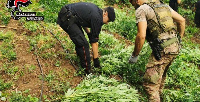 """Taurianova, tra i boschi della """"Limina"""" sequestrate 1229 piante di marijuana"""