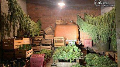 """Taurianova, coltivavano Canapa sativa legale ma  raccoglievano """"erba"""" illegale: denunciati"""